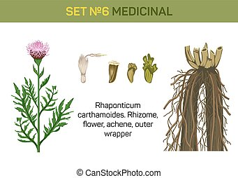 Medicinal flower of Rhaponticum carthamoides or maral root....