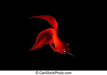 Red Siamese fighting fish (Betta splendens) isolated on...
