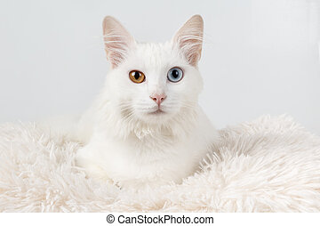 White cat with different colored eyes White odd-eyed cat,...