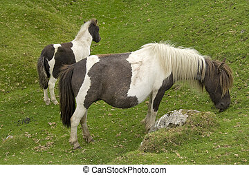 Dartmoor ponies - Two of the hardy breed grazing on fresh...