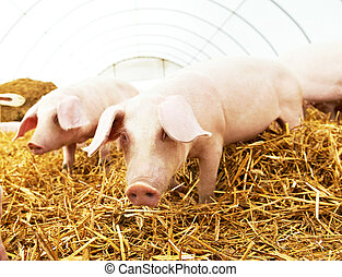 Two young piglet at pig breeding farm - Two young piglet on...
