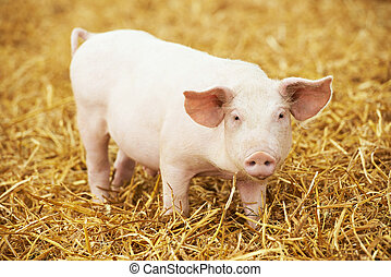 Young piglet on hay and straw at pig breeding farm - One...