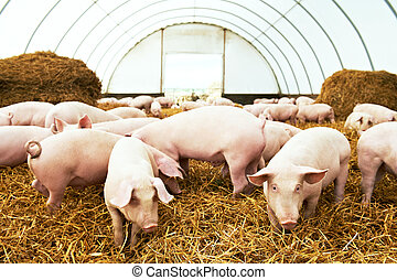 Herd of young piglet at pig breeding farm - Herd of young...