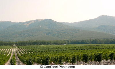 Grape Wineland Countryside Landscape Background of Hills...