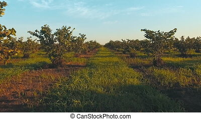 big walnut plantation - the span between hazelnut bushes