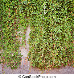 Green creeper plant, brown plank wall background - Green...