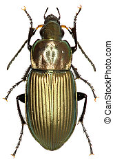Ground Beetle Poecilus on white Background - Poecilus...