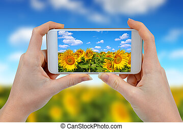 Person is taking photo sunflower field with a smartphone