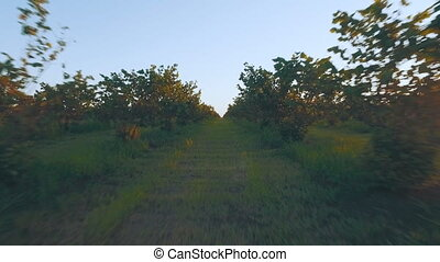 big walnut plantation - the span at sunset between hazelnut...