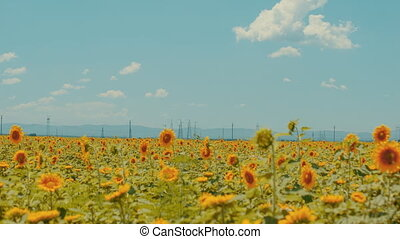 sunflowers swaying in the wind