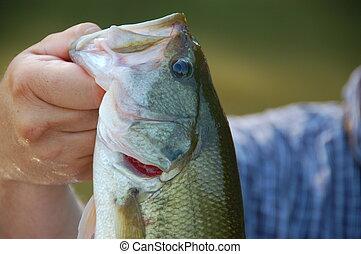 largemouth bass - fisherman holding a large mouth bass...