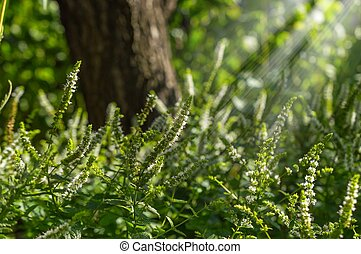 Physostegia in the sunlight afternoon