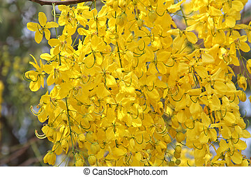Cassia fistula L - Cassia fistula - national flower of...