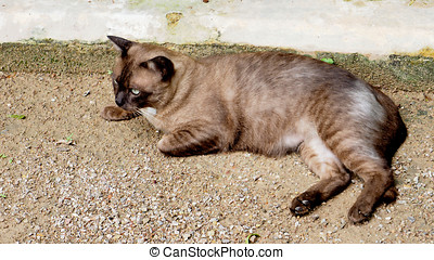 Thai Roan cat relax on the sand street.
