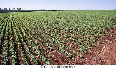 Aerial view of the Potatoes plantation in Sao Paulo state-...
