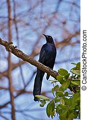 Proud Great Tailed Grackle