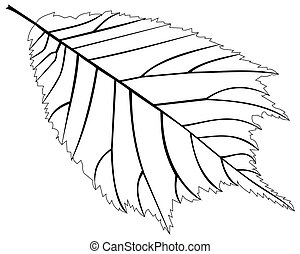 elm,(Ulmus glabra),  vector, isolated elm leaf,