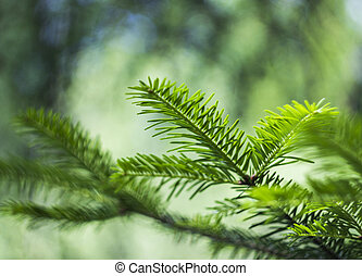 fir branch (Abies alba) - close-up branch of European silver...