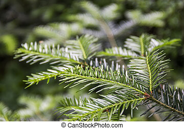fir branch (Abies alba) - close-up branch of European silver...