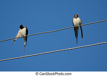 Swallows on wires. - Couple of village birds is resting with...