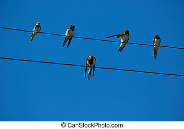 Swallows on wires. - Group of birds is resting on the wires...