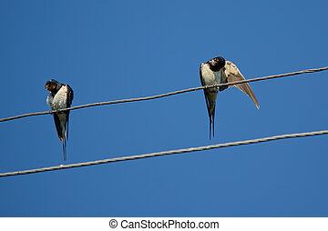 Swallows on wires.