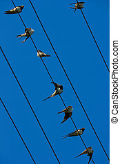 Swallows on wires - Group of birds is resting on the wires...