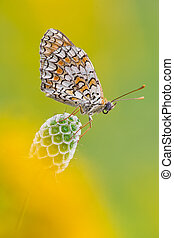 Melitaea Didyma - macro photography of Melitaea Didyma on...