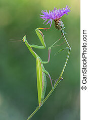 Mantis religiosa - photography macro of european mantis on...