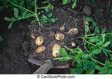digging potatoes out of the soil