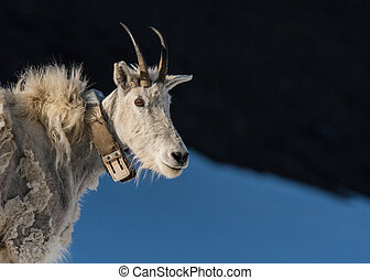 Adult Mountain Goat Wearing Research Collar with Copy Space...