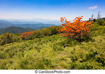 Roan Mountain - Flame Azaleas blooming on Round Bald near...