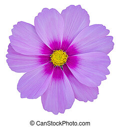 blue cosmos flower isolated on white with clipping path