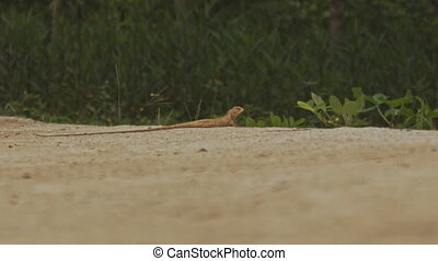 Brown Lizad with Long Tail on Sand - big brown lizad with...