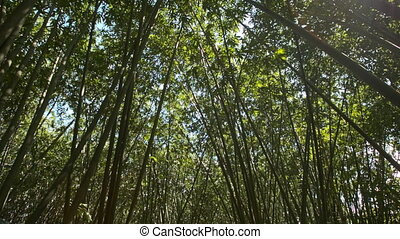 Bright Sun Through Bamboo Tree Crowns - bright sun and blue...