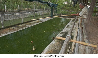 Old Man Feeds Crocodile with Rod from Platform in Park - old...