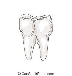 Illustration of tooth. Dental, medicine, health concept. -...