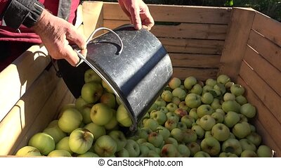 worker hand pour fresh apple harvest in wooden box in garden...