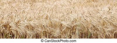 trigo, orelhas, em, a, campo, em, verão