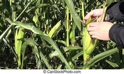 Farmer hand examine ripe corn on cob on maize plantation....