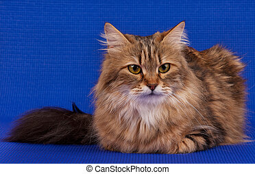 Beautiful siberian cat - Beautiful adult siberian cat over...