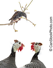 starling and two portrait Guinea fowls (Numida meleagris)...