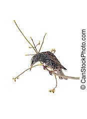 Starling Sturnus vulgaris isolated on white Studio shot
