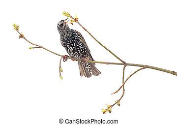 Starling (Sturnus vulgaris) isolated on white. Studio shot.