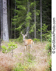 Wild white tailed deer in forest