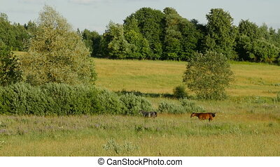 Horses in Green Field. Lithuania. Long shot