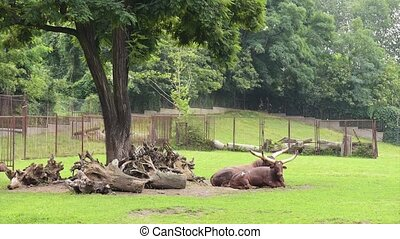 Ankole-Watusi in zoo - Ankole-Watusi lying at grasslands...