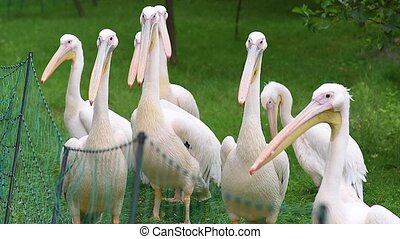 Great White Pelican is a bird in the pelican family Big bird...