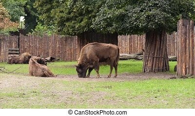 European Bison in zoo - European Bison Large male bison in...