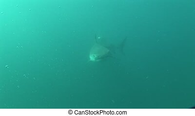 Dangerous big Tiger Shark Underwater - Underwater diving...